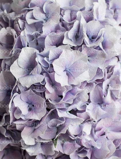 Гортензия Vendetta Lavender