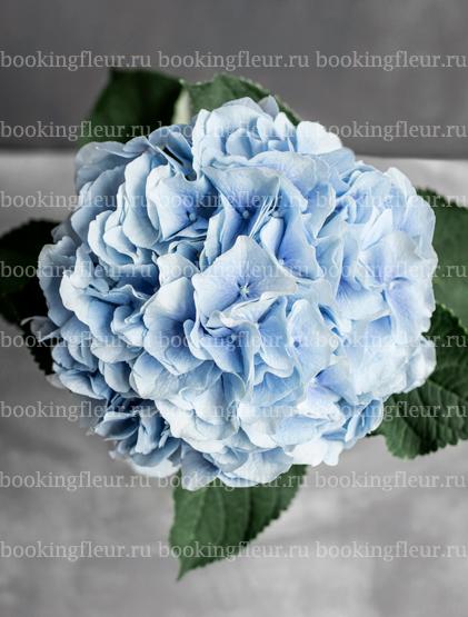 Гортензия Verena Blue