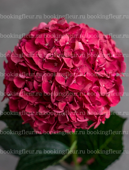 Гортензия Ruby Red