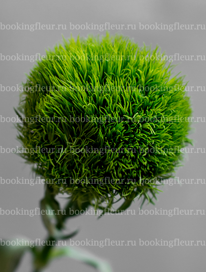 Гвоздика Barbatus Green Trick
