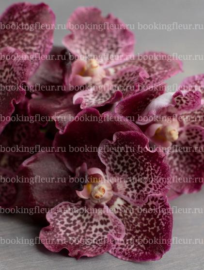 Ванда Purple Spot