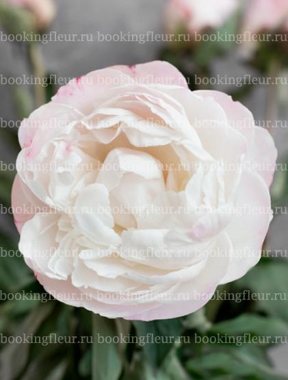 Пион Gardenia