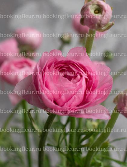 Ранункулюс Elegance Pink