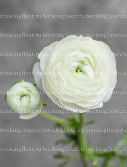 Ранункулюс Elegance White