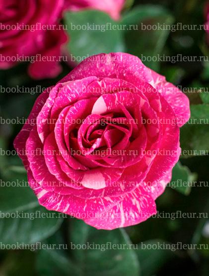 Классическая роза Pandora
