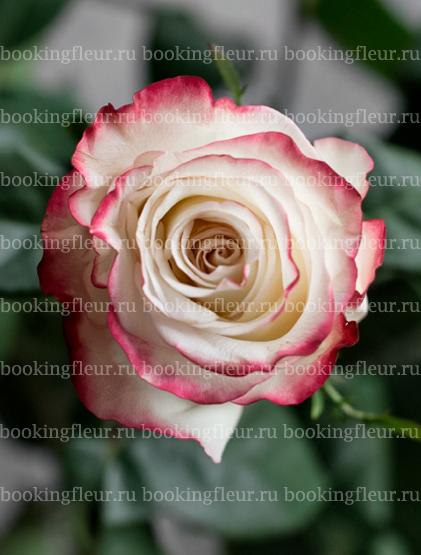Классическая роза Sweetness
