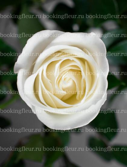 Классическая роза Tibet