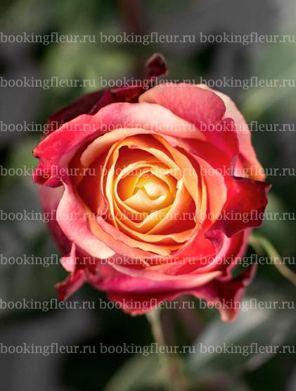 Классическая роза 3D