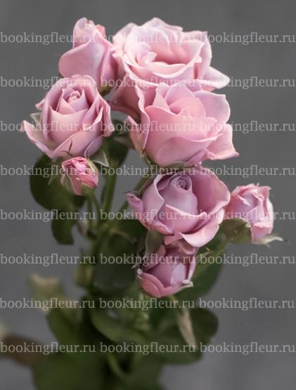 Кустовая роза A-Ledy