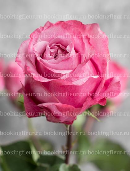 Классическая роза All 4 Love