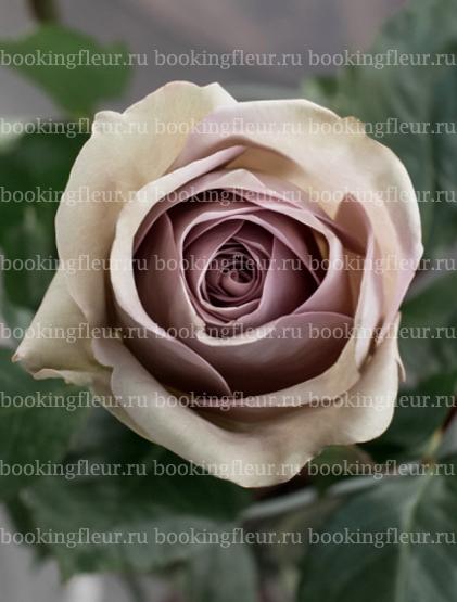 Классическая роза Amnesia
