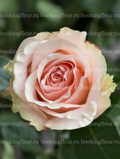 Классическая роза Amorosa