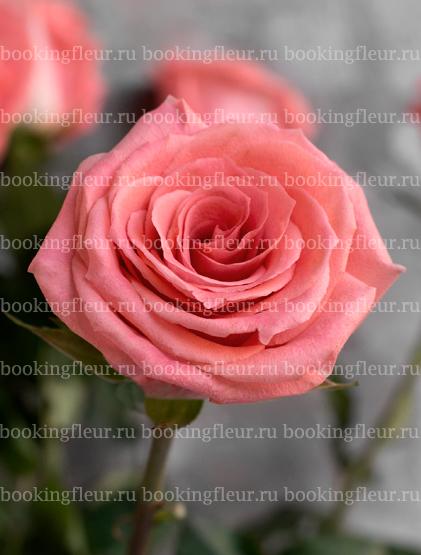 Классическая роза Amsterdam