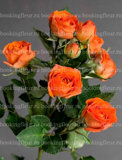 Кустовая роза Baby