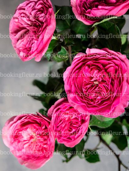 Пионовидная роза Baronesse