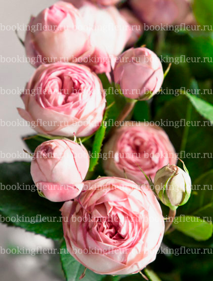 Пионовидная роза Bridal Piano