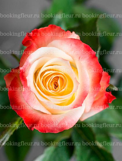 Классическая роза Cabaret