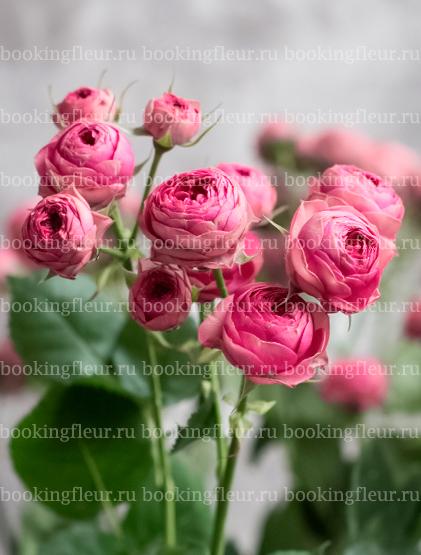 Кустовая роза Candy Sensation