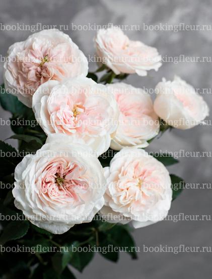 Пионовидная роза David Austin Charity