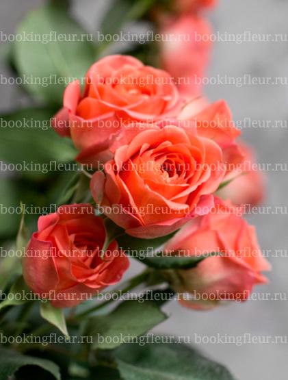 Кустовая роза Charming Babe