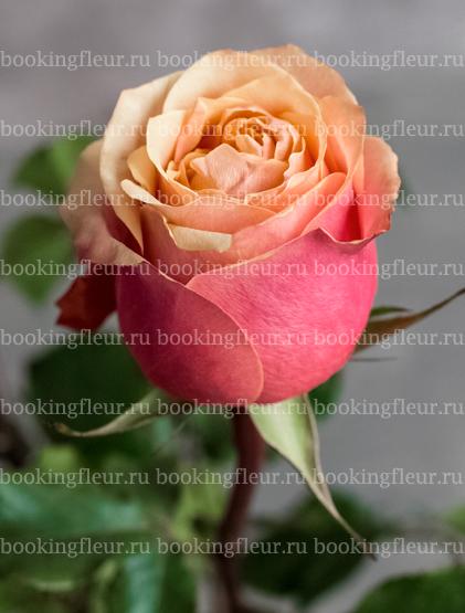 Классическая роза Cherry Brandy