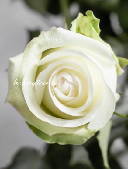 Классическая роза Alba