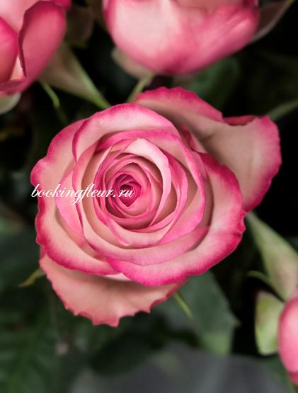 Классическая роза Carousel