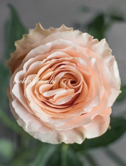 Классическая роза Carpe Diem