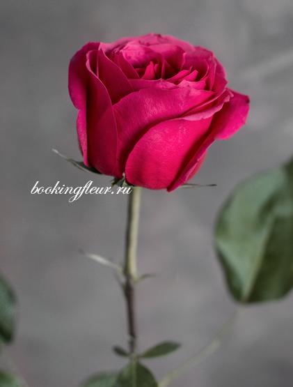Классическая роза Cherry O