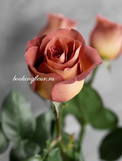 Классическая роза Coffee Break