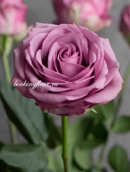 Классическая роза Cool Water