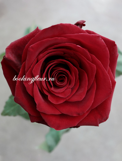 Классическая роза Explorer