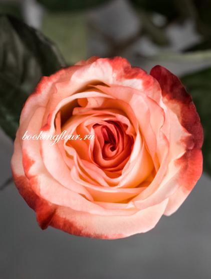 Классическая роза Farfalla