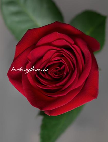 Классическая роза Freedom