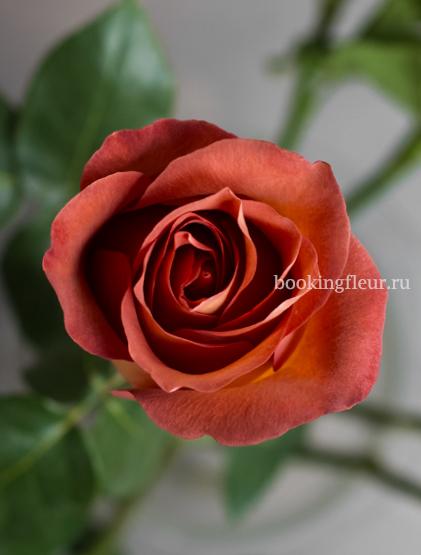 Оранжевая эквадорская роза Coffee Break