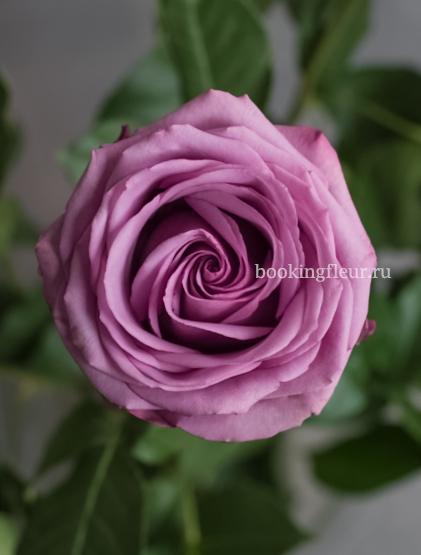 Фиолетовая эквадорская роза Cool Water