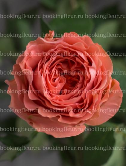 Пионовидная роза Coral Expression