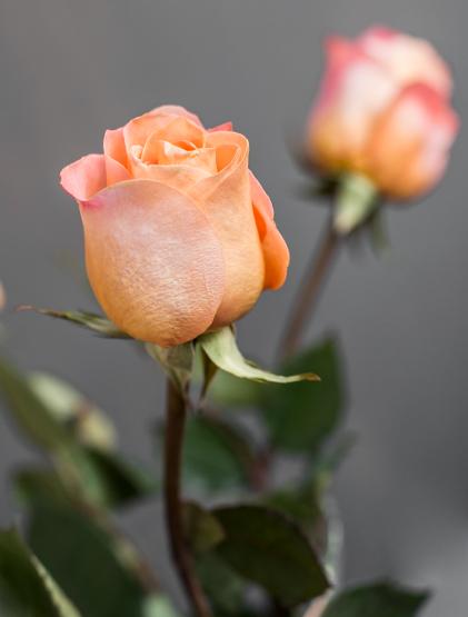 Купить оранжевую розу