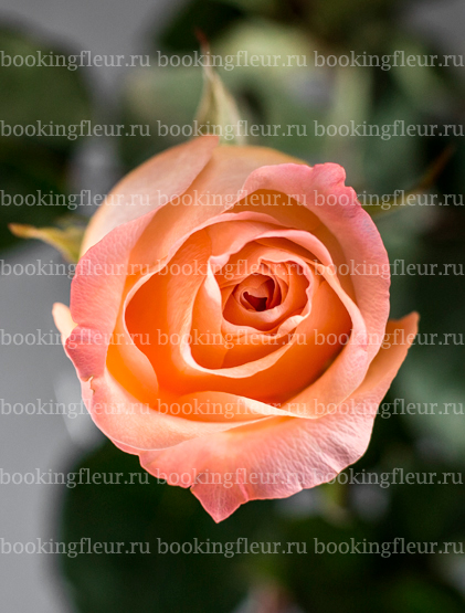Классическая роза Coral Reef