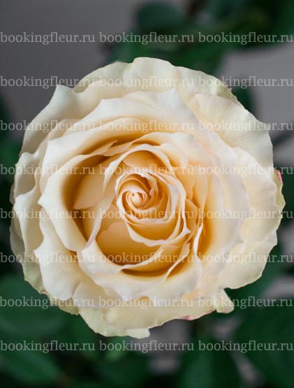 Классическая роза Cream Esperance