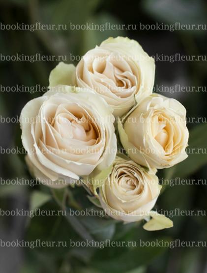 Кустовая роза Cream Irishka