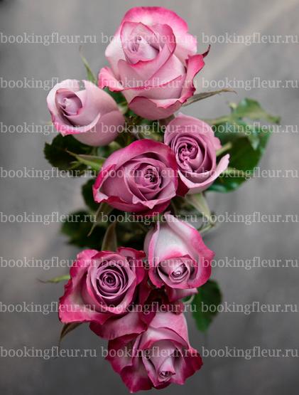 Классическая роза Deep Purple