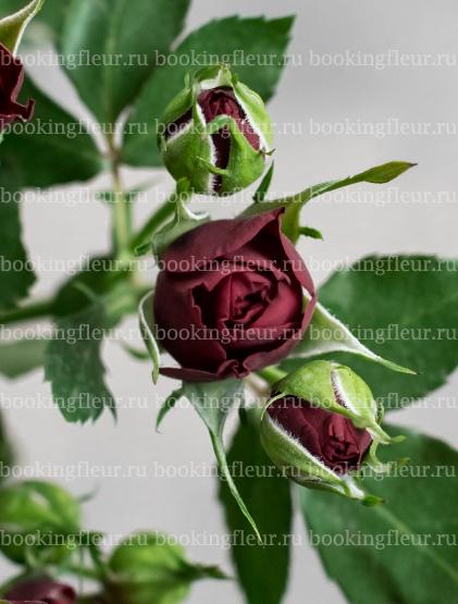 Кустовая роза Dynasty Sensation