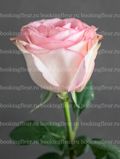 Классическая роза Esperance