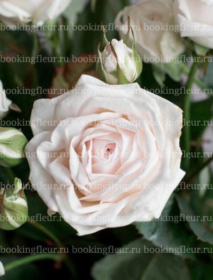 Кустовая роза Exclusive Sensation