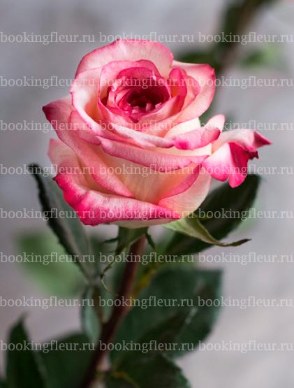 Классическая роза Extreme