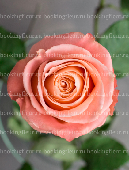Классическая роза Fado