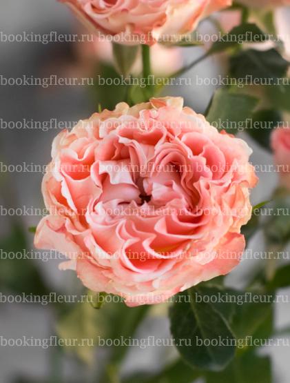 Кустовая роза Fair Flow