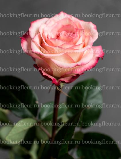 Классическая роза Felicity