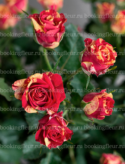 Кустовая роза Fireflash